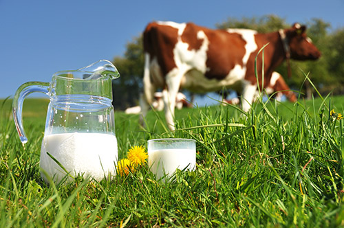 cow in field with milk jar