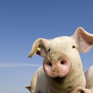 Pig with blue sky