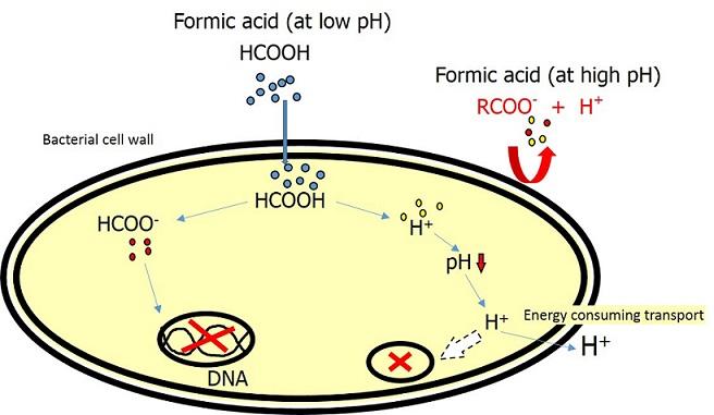 Bacteria Formic acid