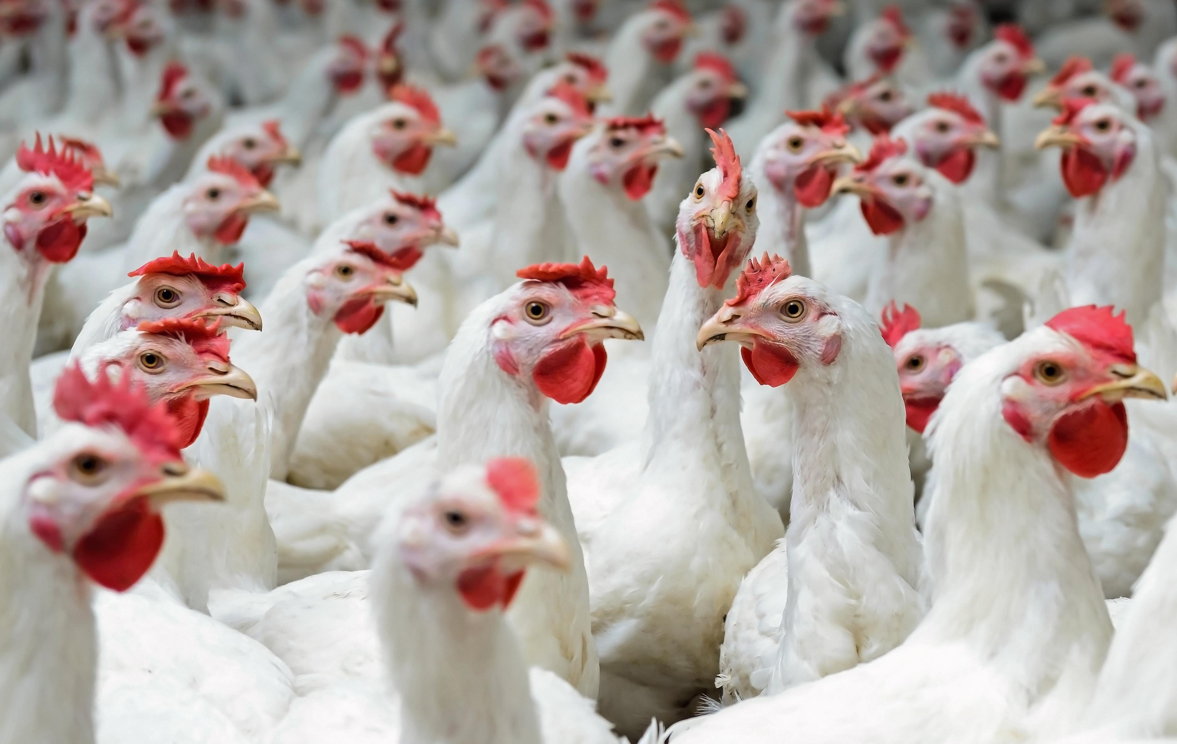 White hens