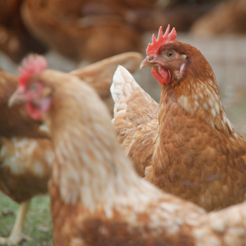 ProPhorce AC299 for Poultry