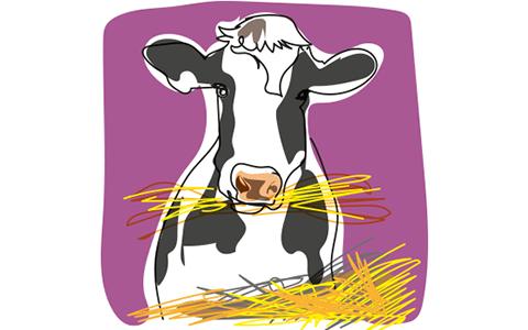 cow eating TME promyr fullfodermix
