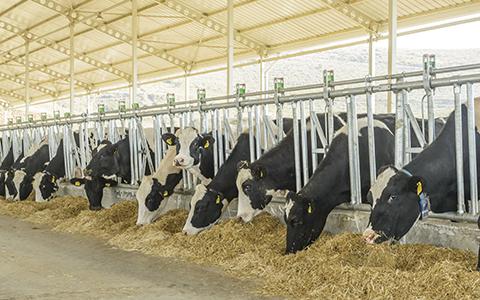 Kor i stall som äter ensilerat hö