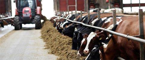 utfodring av ensilage till kor
