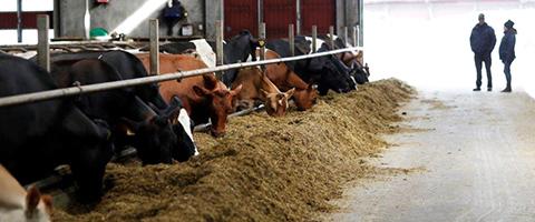 Kor äter ensilage i ladugård