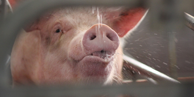 support options for pigs experiencing heat stress