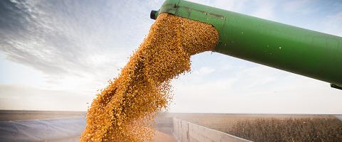 Grain in field