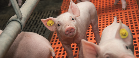 Intestinal problems for piglets