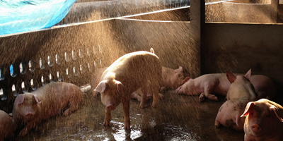 heat stress problems in swine